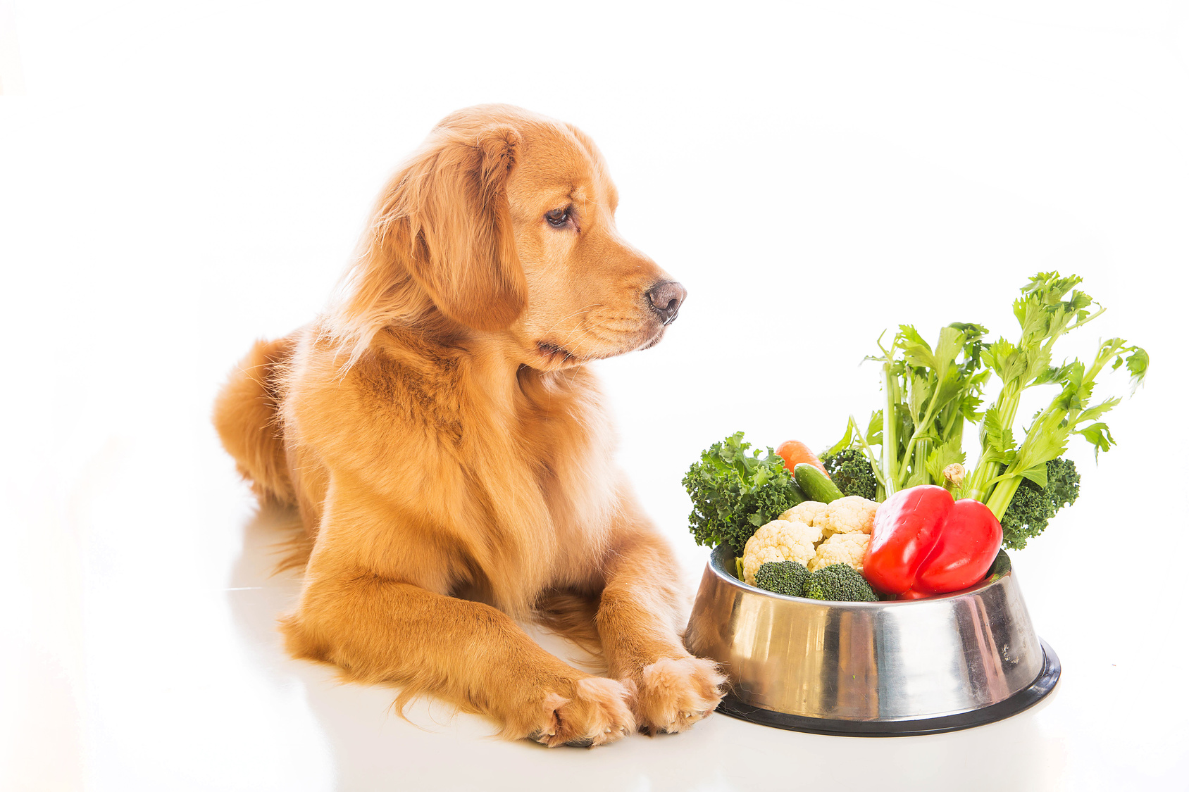 royal canin golden retriever puppy feeding guide