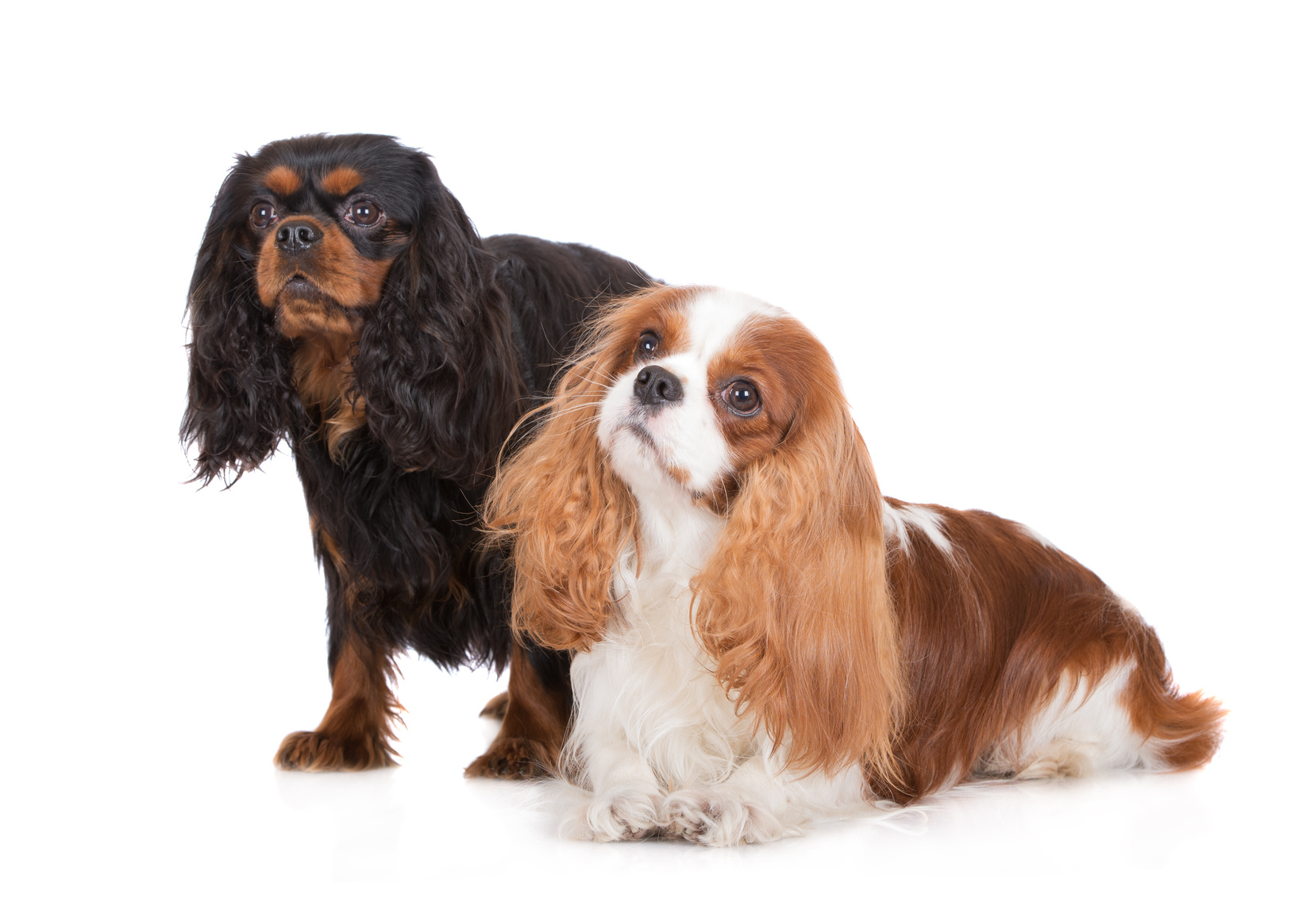 Picture Of King Charles Dogs