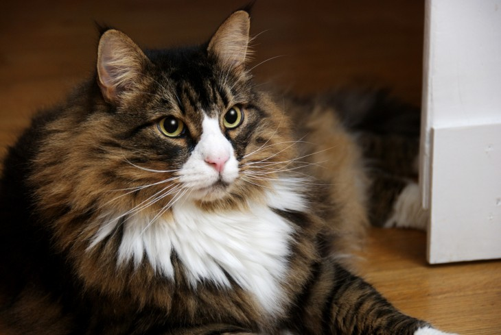 Show Me Pictures Of Tiffany Cats